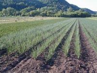 Field of onions