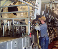 Person milking cows