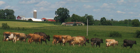 grazing cows