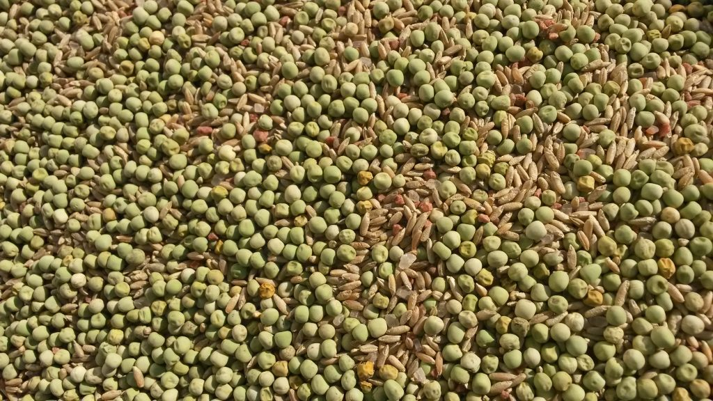 A cover crop of Peas