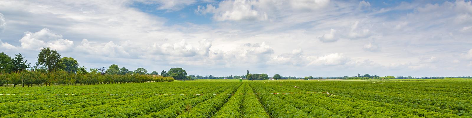 An organic strawberry farm