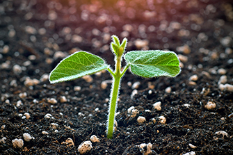 Young soy plant sprouting from soil