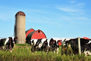 Dairy cows in front of a barn