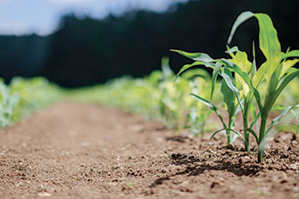 Corn plants growing out of soil